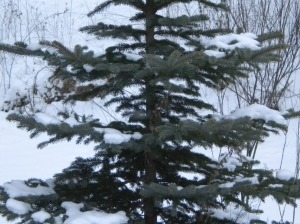 pine in the snow