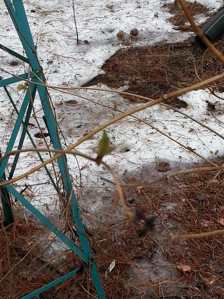 trumpet vine first bud - Spring