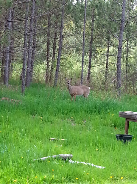 Deer pregnant.jpg